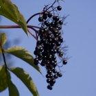 How to Identify Elderberry Plants