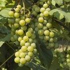 Como fazer uma treliça para parreira de uvas