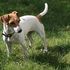 How Do Jack Russells Behave?