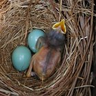 What Do Robin Eggs Look Like?