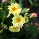 Which garden pest eats primula flowers?