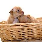 Cómo saber cuando un chihuahua va a tener cachorros