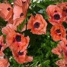 Rare Perennial Poppy Plants