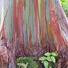 Árboles de eucalipto en México