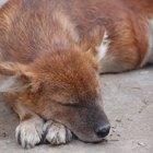 Dectomax para tratar la sarna canina