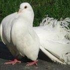 Cómo alimentar a las palomas blancas