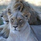 Como leões cuidam de seus filhotes?