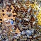 Ciclo de vida de la abeja reina
