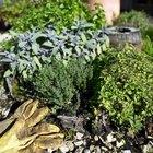 Ervas que podem ser plantadas no mesmo vaso