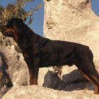 Different Kinds Of Rottweilers Pets