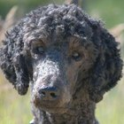 Does a Poodle Obey Commands Well?