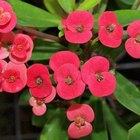 Como fazer uma planta de coroa-de-cristo se propagar