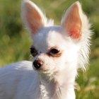 Informações sobre um filhote de chihuahua e pequinês