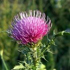 What Is the National Flower of Scotland?