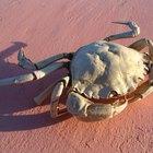 Qual é a expectativa de vida de um caranguejo-real?