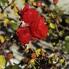 Qué son las manchas blancas en los rosales