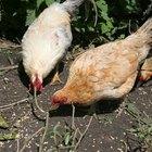 Cómo armar una granja de aves de corral