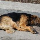 Gangrena en perros