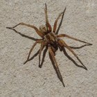 How to Get Rid of Wolf Spiders in the House