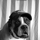 Diferenças entre os cães boxers americano e alemão