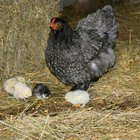 How do I tell the male & female black copper marans chick apart?