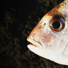 Tipos de escamas de peixes