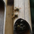 How to get rid of wasps chewing on wood