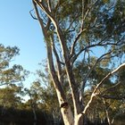 Eucalyptus Tree Diseases