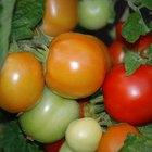 Quanto tempo um tomate demora para brotar e amadurecer?