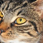 Síndrome vestibular em gatos