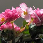 Are begonias perennials?