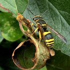What are wasps attracted to?