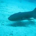 Diferenças entre barbatanas de golfinhos e barbatanas de tubarão