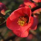 Is a Flowering Quince Bush Fruit Safe for Dogs?