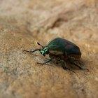 ¿Qué son los diminutos escarabajos negros que cruzan las pantallas por la noche y se sienten atraídos por la luz?