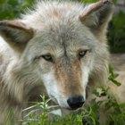 Comparación de dientes de perros y lobos
