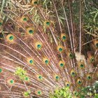 ¿Qué simboliza una pluma de pavo real?