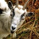 Cómo utilizar el antiparasitario Ivomec en cabras