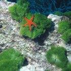 Como alimentar uma estrela do mar em um aquário de água salgada