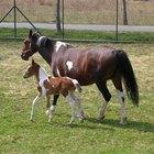 Etapas del embarazo en los caballos