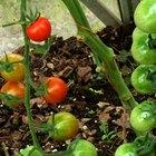 How to grow vine tomatoes
