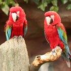 Alimentos tóxicos para papagaios