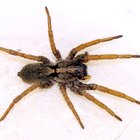 Poisonous house spiders