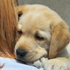 How to Raise a Labrador Puppy