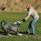 Adopting A Sheepdog