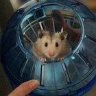 Quais as causas de inchaço em hamsters?