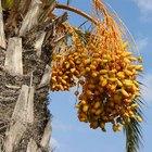 Cómo hacer crecer un árbol de dátil de una semilla