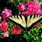 ¿Cuáles son los insectos que hacen agujeros en la hojas de los arbustos de las rosas?