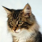 Norwegian Forest Cat Description
