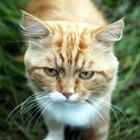 ¿Qué edad debe tener un gato macho para producir gatitos?